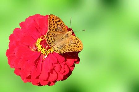 Photo pour Papillon brun (fritillaire argenté) sur fond rouge sur fond vert bleui - image libre de droit