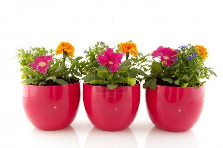 Photo pour Fleurs d'été pour le jardin coloré isolé sur blanc - image libre de droit
