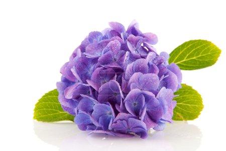 Foto de Hortensia azul desde el jardín aislado en blanco - Imagen libre de derechos