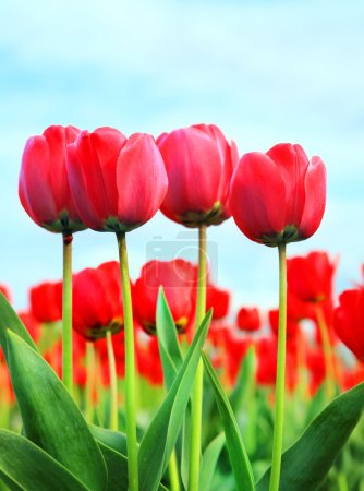 Photo for Tulip flowers closeup image and blue sky - Royalty Free Image