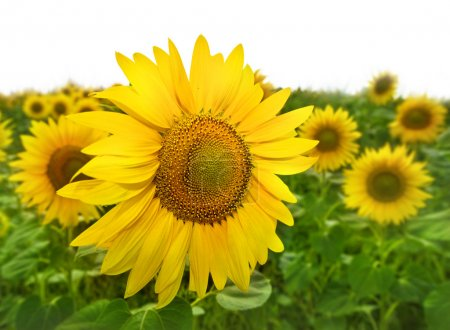 Photo for Closeup of bright yellow sunflowers on the field - Royalty Free Image