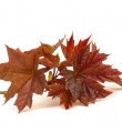 Maple leaf isolated on a white background...