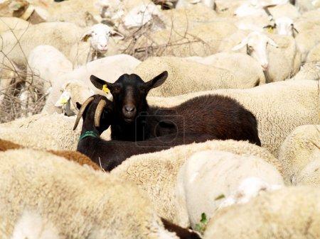 Photo pour Deux chèvres noires au milieu d'un troupeau de moutons blancs en Espagne - image libre de droit