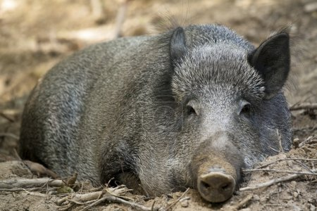 Photo for Picture of a female wild boar - Royalty Free Image