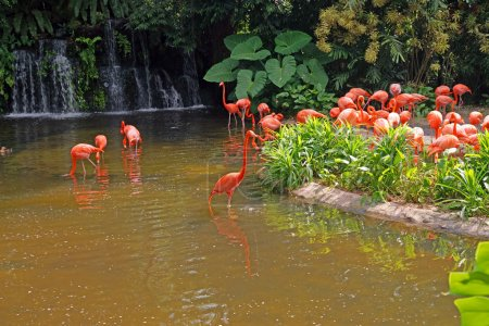 Pink flamingos on lake with waterfalls in rainorest.