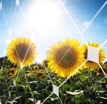 Foto de Campo de girasol contra el sol con el patrón de panel fotovoltaico - Imagen libre de derechos