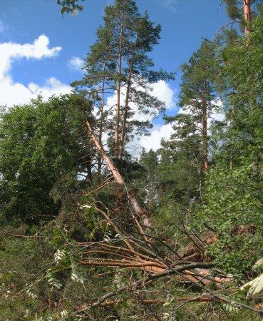 Photo pour Forêt après l'ouragan - image libre de droit