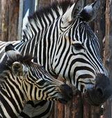 Legrační zebra