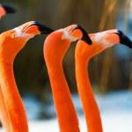 Portrait four beauty orange flamingo...