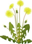 Vector - of flower yellow dandelion isolated on background