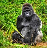 Gorilla silverback maschio