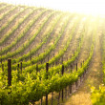 Beautiful Lush Grape Vineyard In The Morning Mist ...