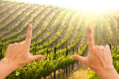 Hands Frame Beautiful Grape Vineyard