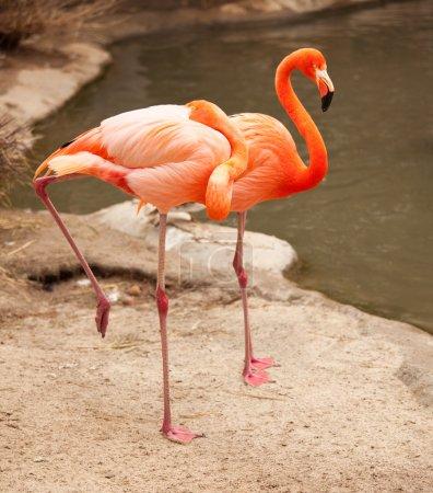 Beautiful Flamingo Couple Resting