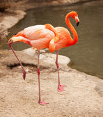 Beautiful Flamingo Couple Resting