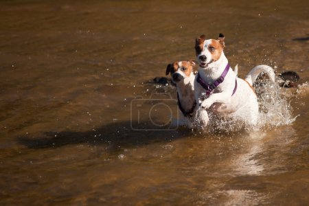 Playful Jack Russell Terrier Dogs Playing in the Water