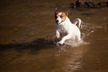 Playful Jack Russell Terrier Dog Playing in Water