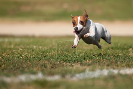 Photo for Energetic Jack Russell Terrier Dog Runs on the Grass Field. - Royalty Free Image