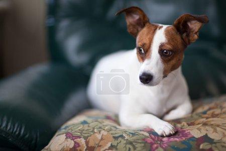Photo pour Jack Russell Terrier Portrait de chiot avec une profondeur de champ étroite . - image libre de droit