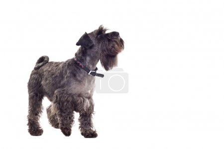 Schnauzer (1 year) in front of a white background ...