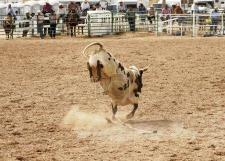 Bucking bull 2