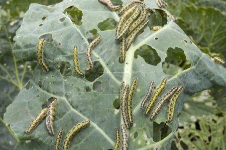 Kohlblatt mit Raupenschädling übersät