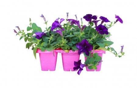 Photo pour Pétunia violet isolé sur fond blanc. - image libre de droit