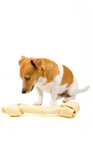 Small jack russel whit a giant big bone