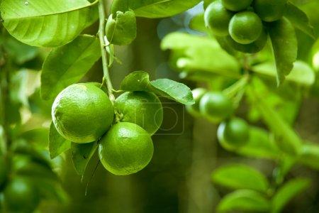 Photo pour Gros plan d'une branche portant de grands citrons verts - image libre de droit
