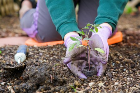 Photo for Closeup image of woman's hands in gardening gloves planting tomato - Royalty Free Image
