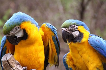 Photo for Flirting of two blue-and-orange Macaws - Ara Ararauna. - Royalty Free Image