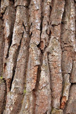 Photo pour Texture d'un bouillon brun d'un arbre - image libre de droit