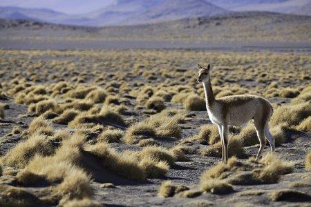 Photo pour Vicuna dans les pampas de l'alti plano bolivien - image libre de droit