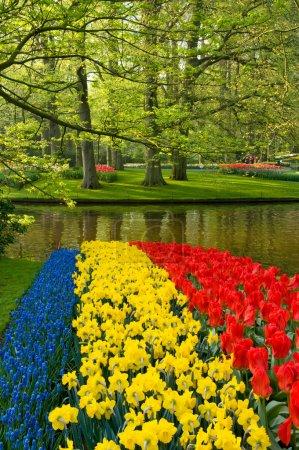 Photo pour Tulipes rouges jonquilles et jacinthe de raisin commune - image libre de droit
