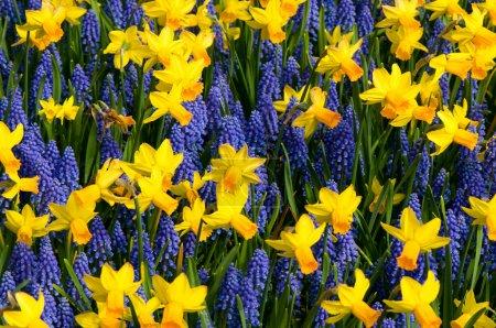 Daffodils and common grape hyacinth