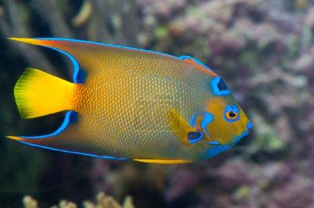 A colorful emperor fish