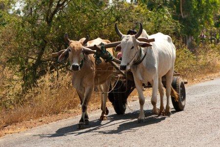 Oxen wagon