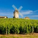Vineyards with windmill near Chenas, Beaujolais, B...