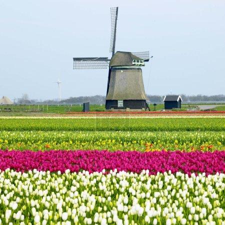 Photo pour Moulin à vent avec champ de tulipes près de Sint-Maartens-vlotbrug, Pays-Bas - image libre de droit