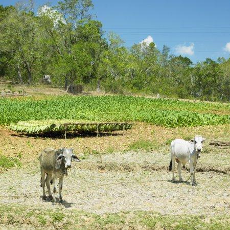 Tobacco field, Pinar del R