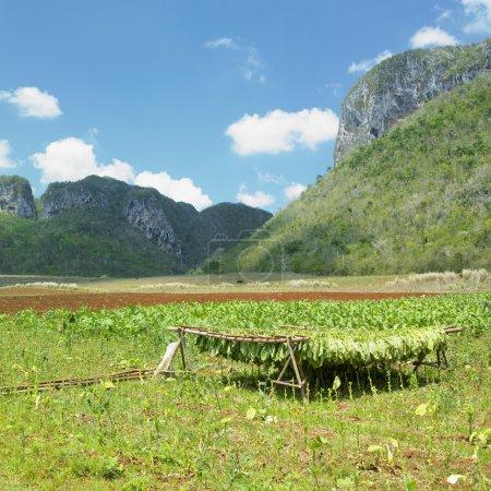 Photo pour Récolte de tabac, Vinales Valley, Pinar del R - image libre de droit