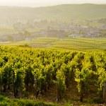Vineyards near Fuisse, Burgundy, France...