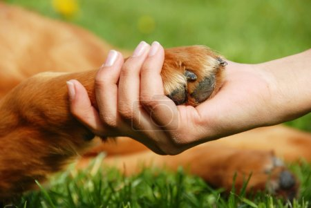 Photo for Yellow dog paw and human hand shaking, friendship - Royalty Free Image