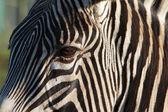 částečné zebra tvář