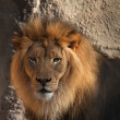 Large male Lions head looking at camera with soft ...