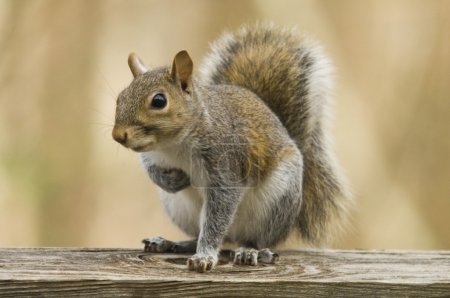 Photo for Squirrel hiding something in its paw - Royalty Free Image