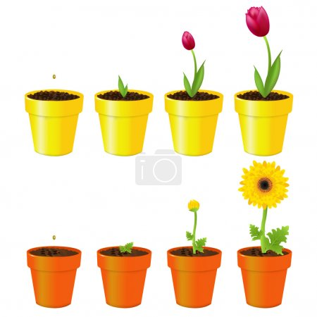 Illustration for Daisy And Tulip In Pots, Process Of Growth, Isolated On White - Royalty Free Image