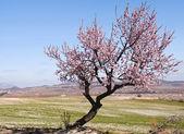 """Постер, картина, фотообои """"Одинокий миндальное дерево в цвету"""""""
