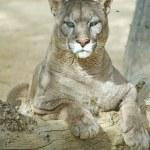 Puma sitting on a log...