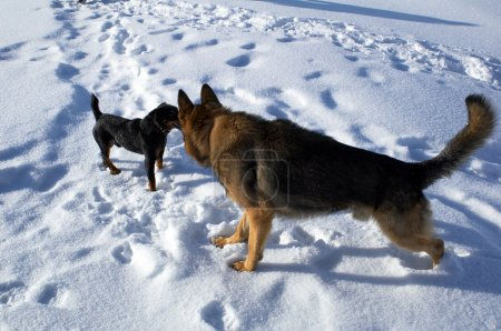 Big and small dogs on snow